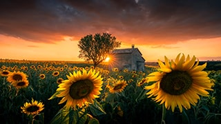 ilhan-eroglu-sony-alpha-7RIII-sunflowers-in-a-field-at-dawn-with-stormy-skies