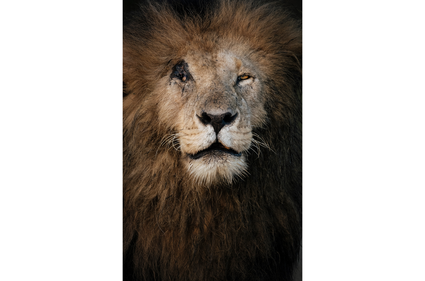 Chris-Schmid-portrait-d-un-majestueux-lion-adulte-kenya
