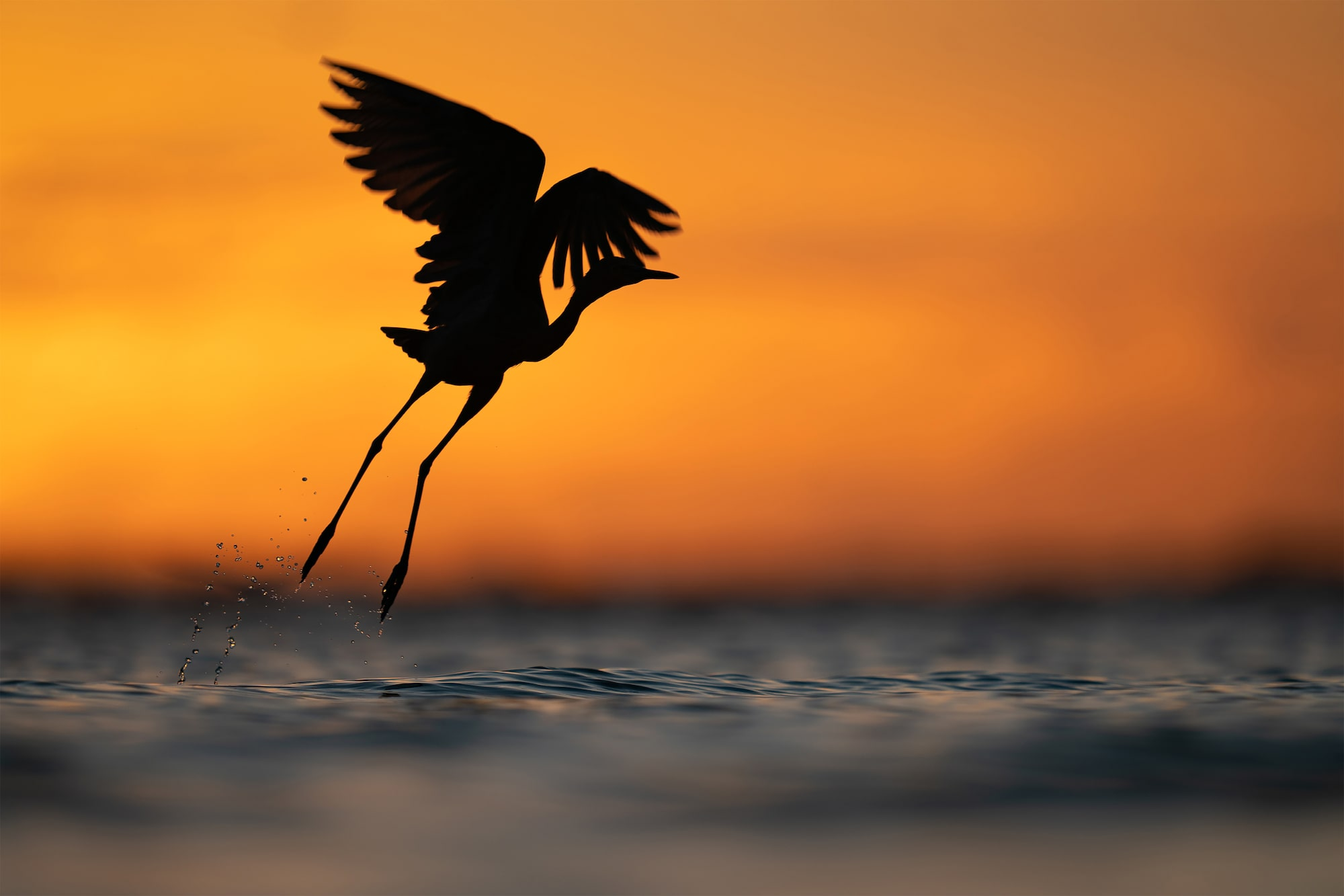 andreas-hemb-sony-alpha-9-a-heron-takes-off-from-the-water-with-a-strong-sunset-behind